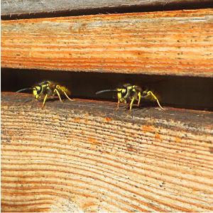 Arten & Lebenszyklus von Wespen und Hornissen in Garten und Haus