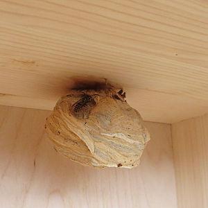 Wespen helfen – Kontakt und Links zu dem Thema